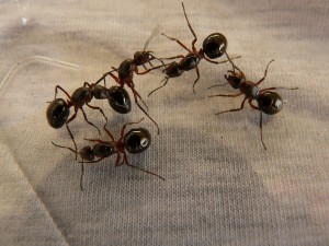 forest-ant-queens-3254_960_720
