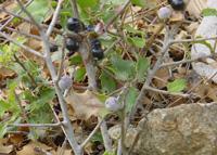 Galles de cochenilles