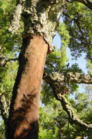 Chêne-liège démasclé