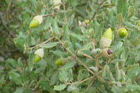 Glands de chêne vert