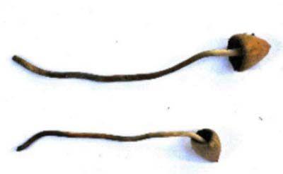 Figure 5 - En France, le seul psilocybe actif est Psilocybe semilanceata