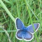 papillon_bleu