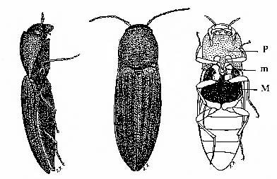 Agriotes lineatus L. (d'après Balachowski et Mesnil) p: prosternum et son apophyse (en pointillés), m : mésosternum et sa fossette (en blanc) M : métasternum (en noir)