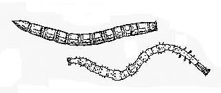 - Larves d'Élatérides. En haut : Elater ; en bas : Cardiophorus (la tête des larves est à droite).