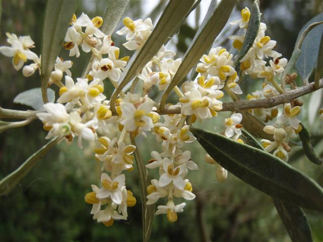 Fleurs d'olivier - Crédit photo : André Bervillé
