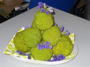 Fruit de l'oranger des Osages