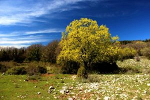 Érable de Montpellier en fleur. Crédit photo : Jean Claude Davidian