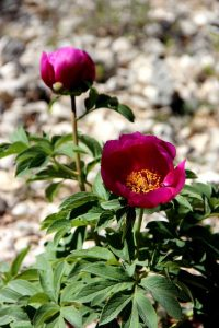 Fleur et bouton - Pivoine voyageuse. Crédit photo : Jean Claude Davidian