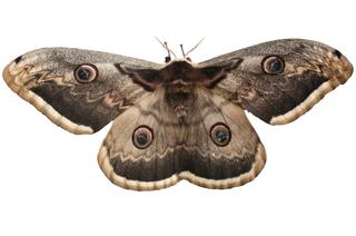 Non les papillons de nuit ne sont pas moches soci t d 39 horticulture et d 39 histoire naturelle - Signification papillon de nuit ...