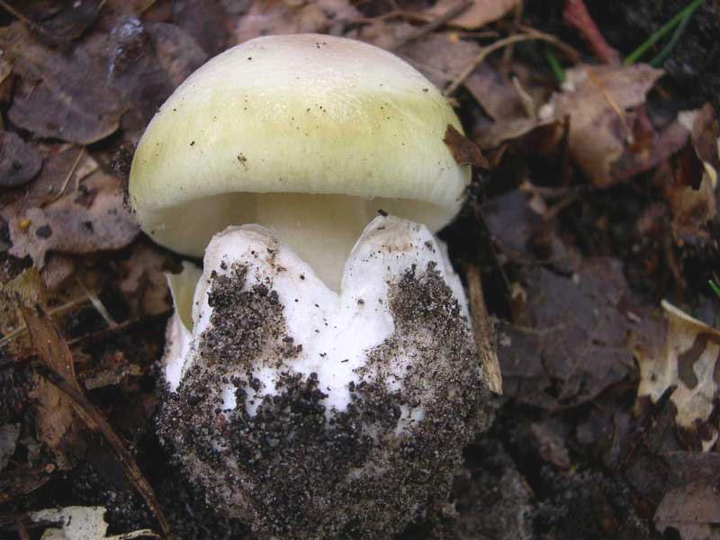 Amanite phalloîde jeune